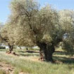 The Olive Trees of Senia: A European Award
